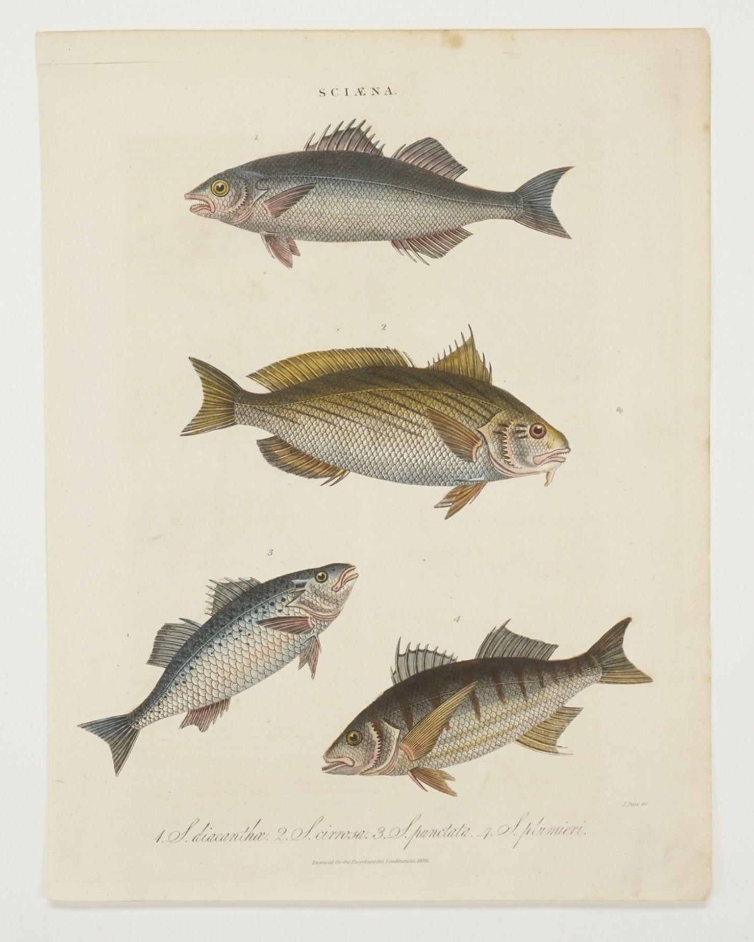 Zwei Schautafeln Fische - Bild 3 aus 3