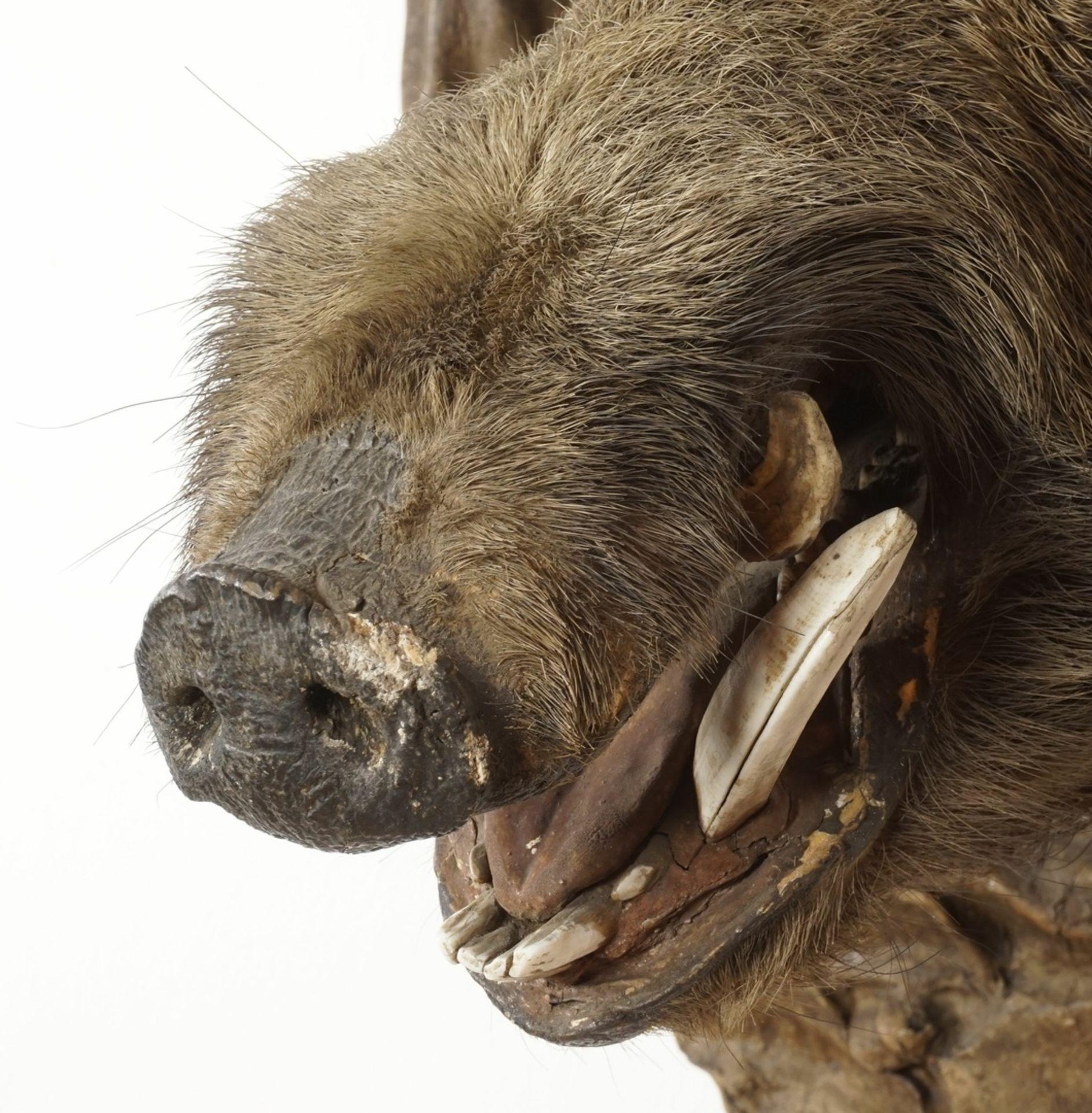 Wildschweinkopf vom Welfenschloss Blankenburg - Bild 7 aus 7