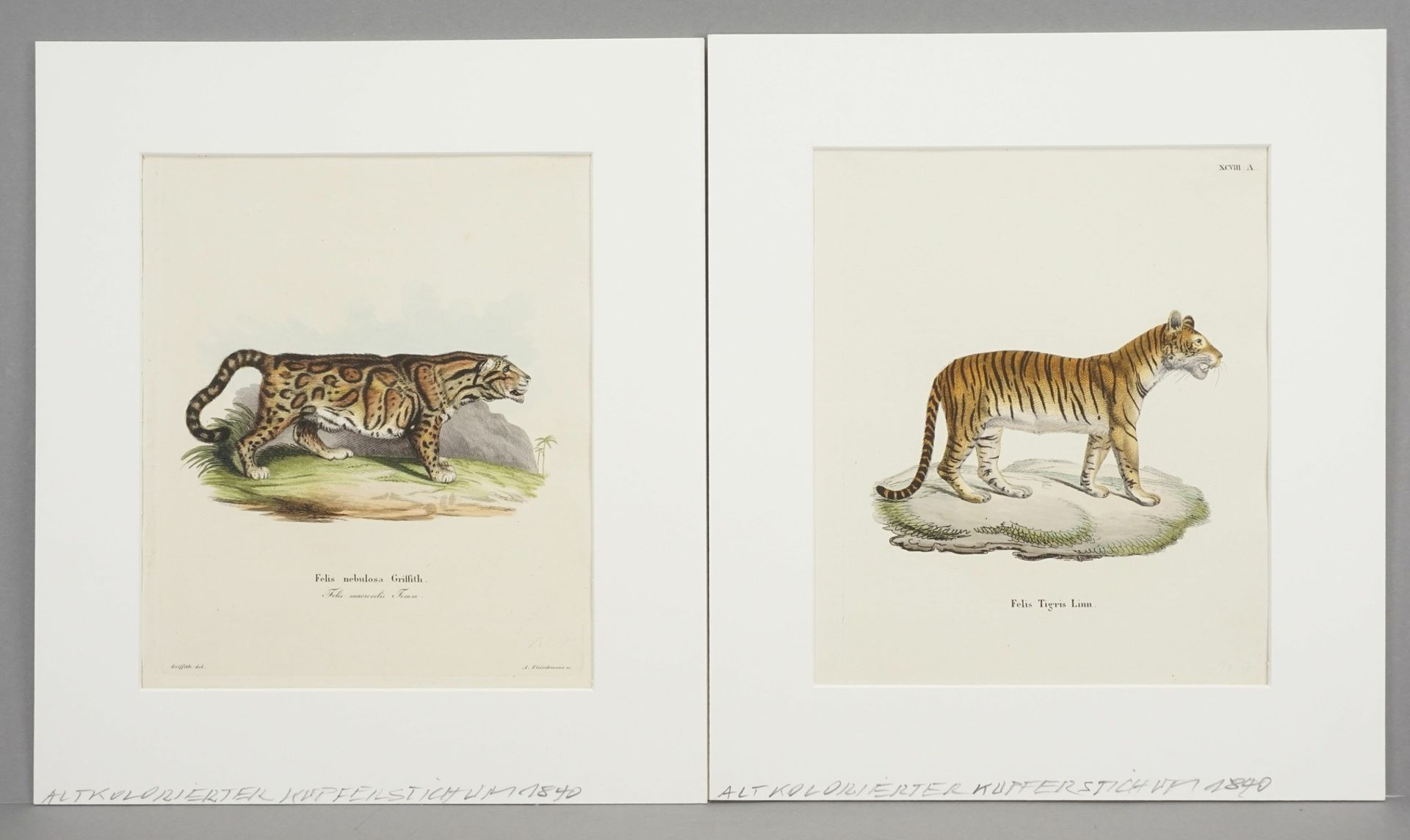 "Andreas Fleischmann, ""Felis Tigris Linn. / Felis nebulosa Griffith"""