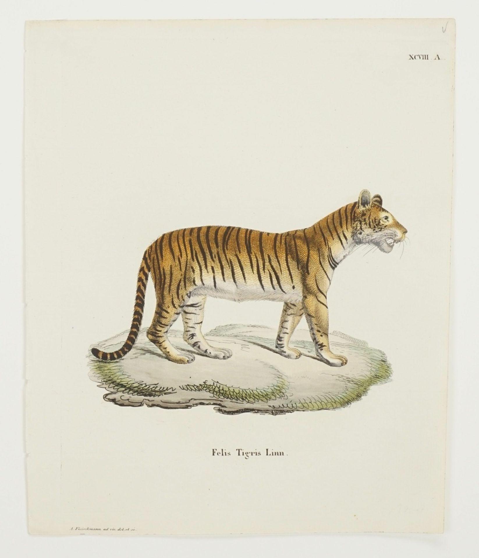 "Andreas Fleischmann, ""Felis Tigris Linn. / Felis nebulosa Griffith"" - Bild 3 aus 3"