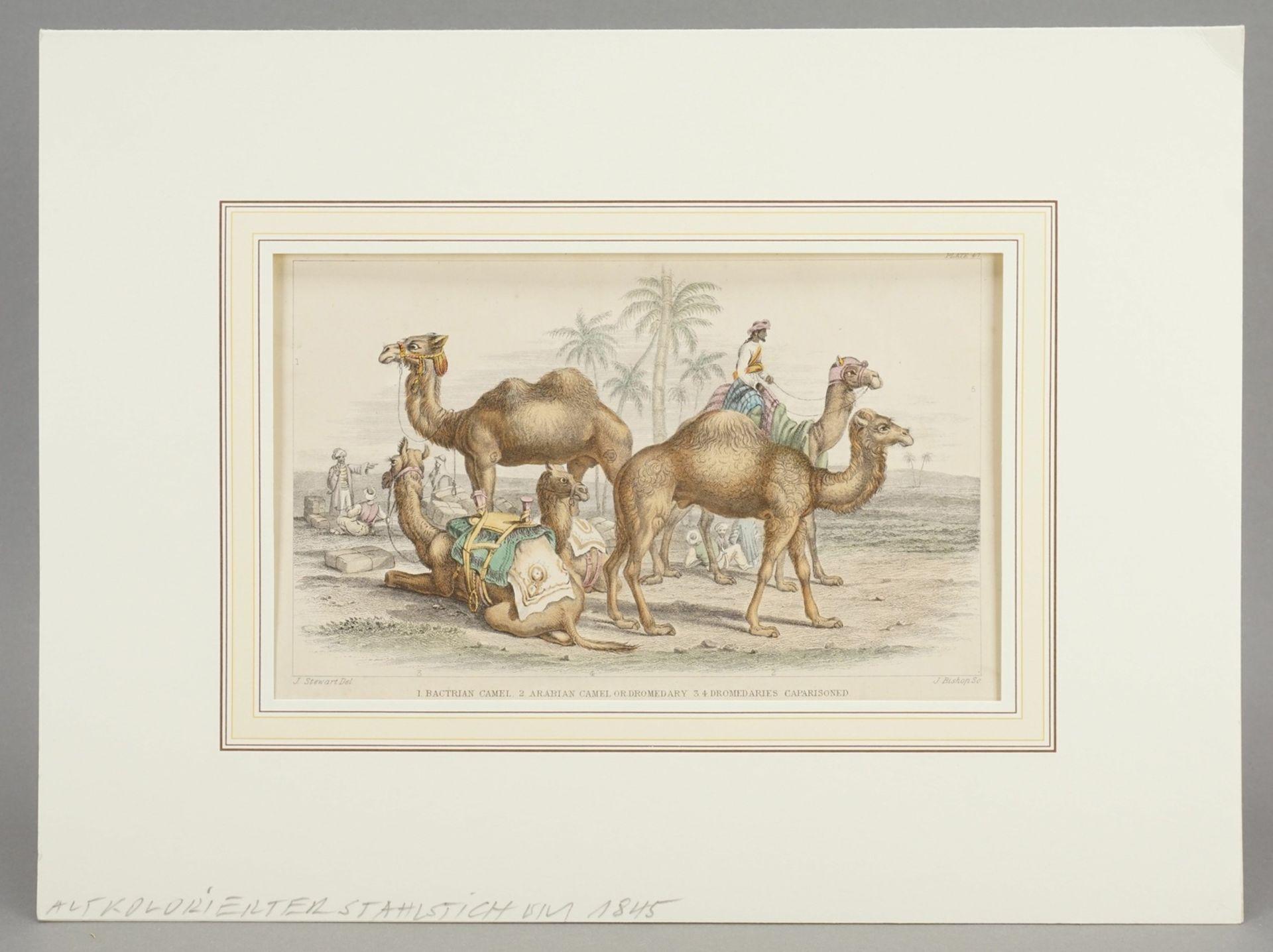 Naturkundliches Blatt zu Kamelen - Bild 2 aus 3
