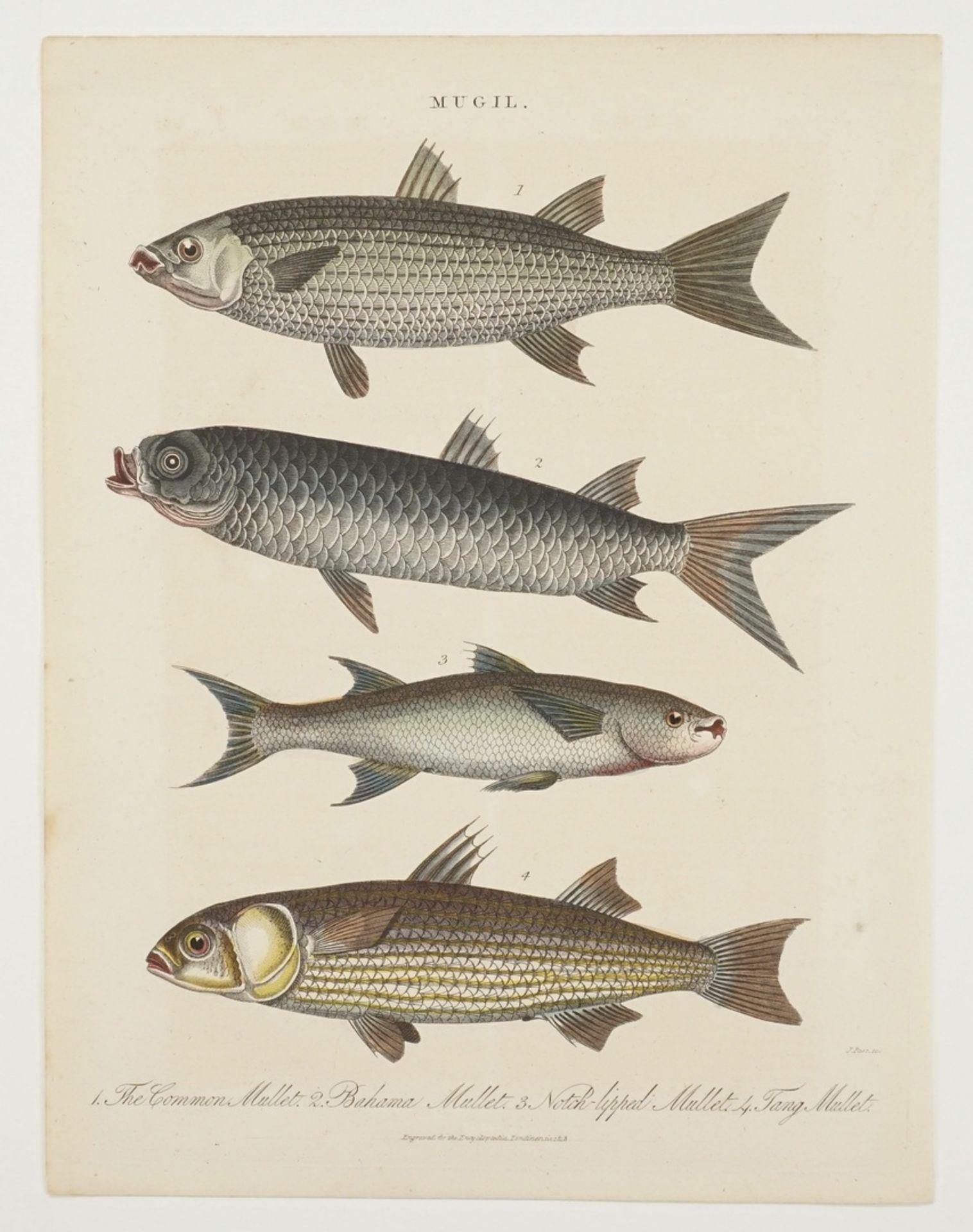 Zwei Schautafeln Fische - Bild 2 aus 3
