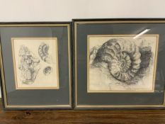 Two framed pencil drawings of fossils by Ann Spencer. Dated 83'