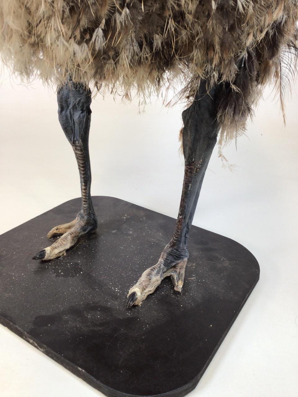 An early 20th century taxidermy full size emu on board. W:67cm x D:40cm x H:90cm - Image 5 of 9