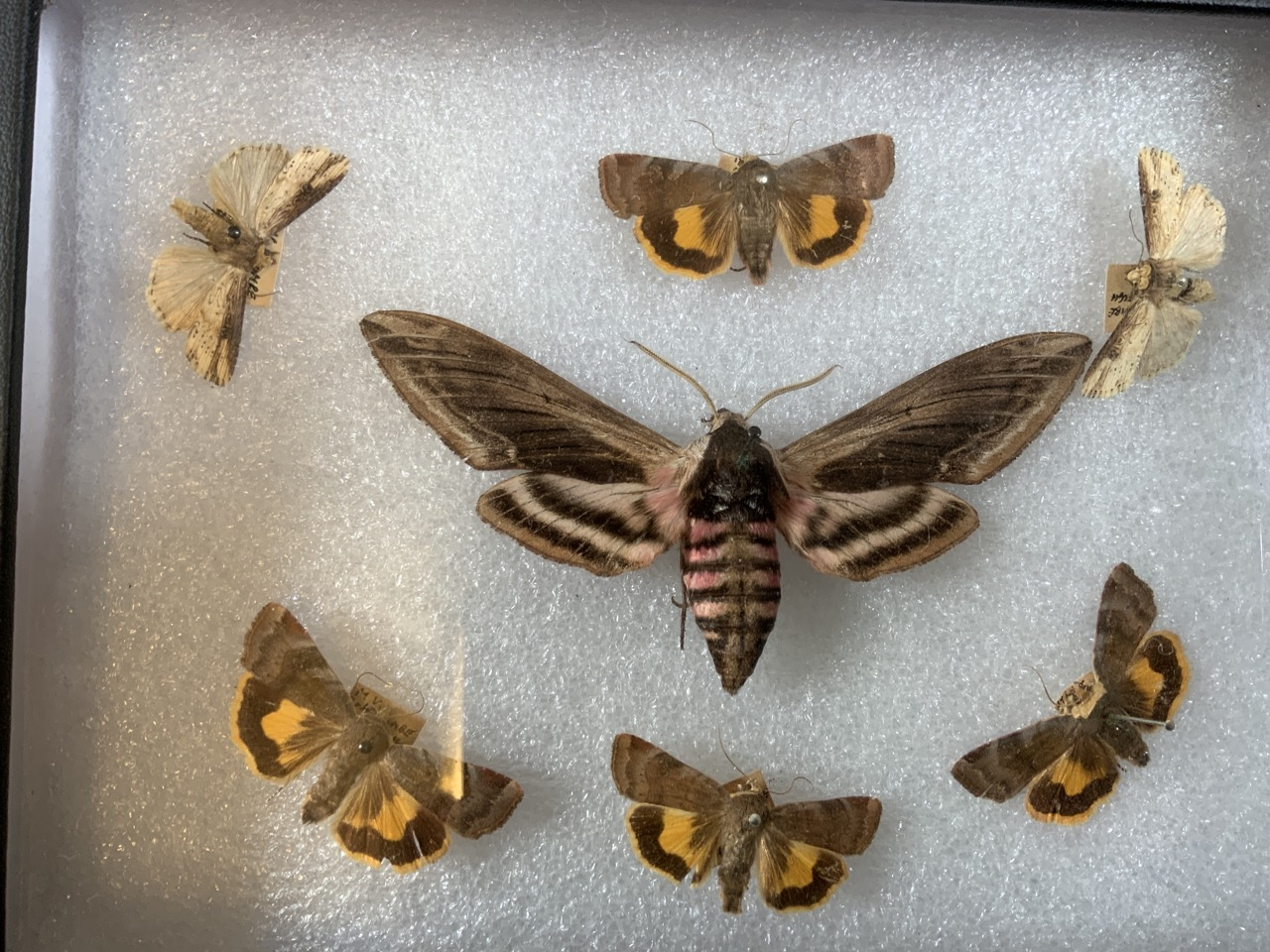 Two cases of Devon moths including a death head moth example. W:24cm x D:35cm - Image 4 of 5