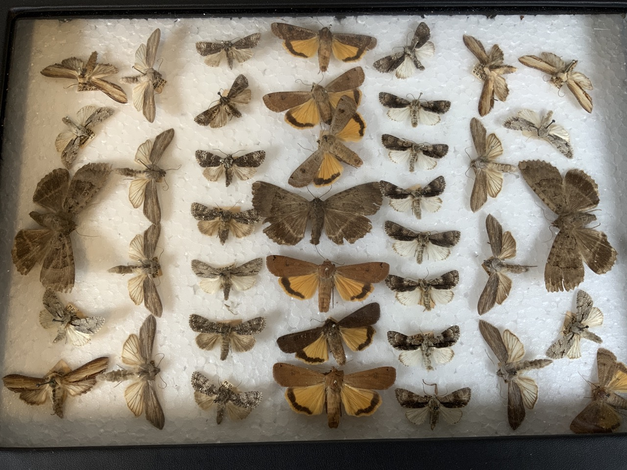 Two cases of Devon moths including a death head moth example. W:24cm x D:35cm - Image 5 of 5