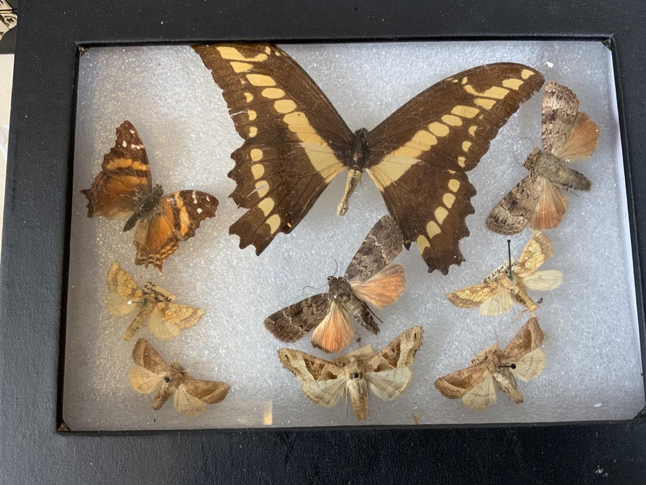 Two cases of Devon moths. Largest case W:24cm x D:35cm - Image 2 of 4