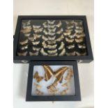 Two cases of Devon moths. Largest case W:24cm x D:35cm