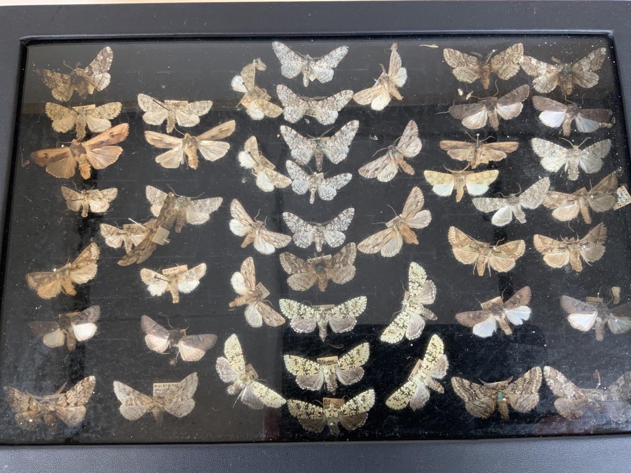 Two cases of Devon moths. Largest case W:24cm x D:35cm - Image 3 of 4