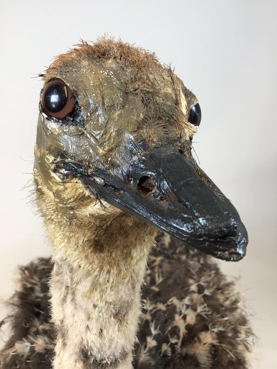 An early 20th century taxidermy full size emu on board. W:67cm x D:40cm x H:90cm - Image 6 of 9