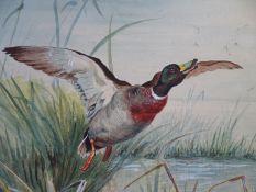 John Cyril Harrison (1898-1985) Watercolour and gouache A mallard Duck ( Drake) ? springing ? from