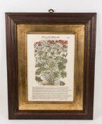 Schöne Pflanzendarstellung, Blutige Geranie, Kolorierter Kuperstich im Imperial-Folio Format.
