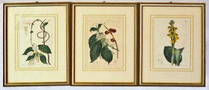 """3 altkolorierte Kupferstiche aus """"Curtis's Botanical Magazine"""", 1787 gegründet von William CUR"""