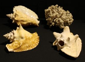Conchology - a large Queen Conch shell; others; a large coral cluster (4)
