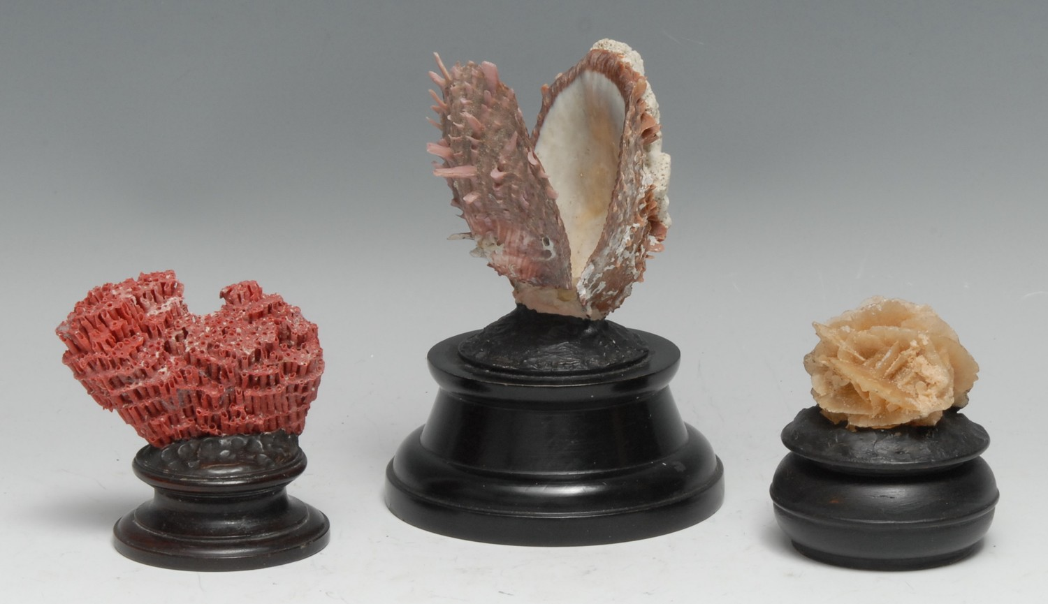 Natural History - a spondylus shell, mounted for display, 13.5cm high overall; a red coral specimen,