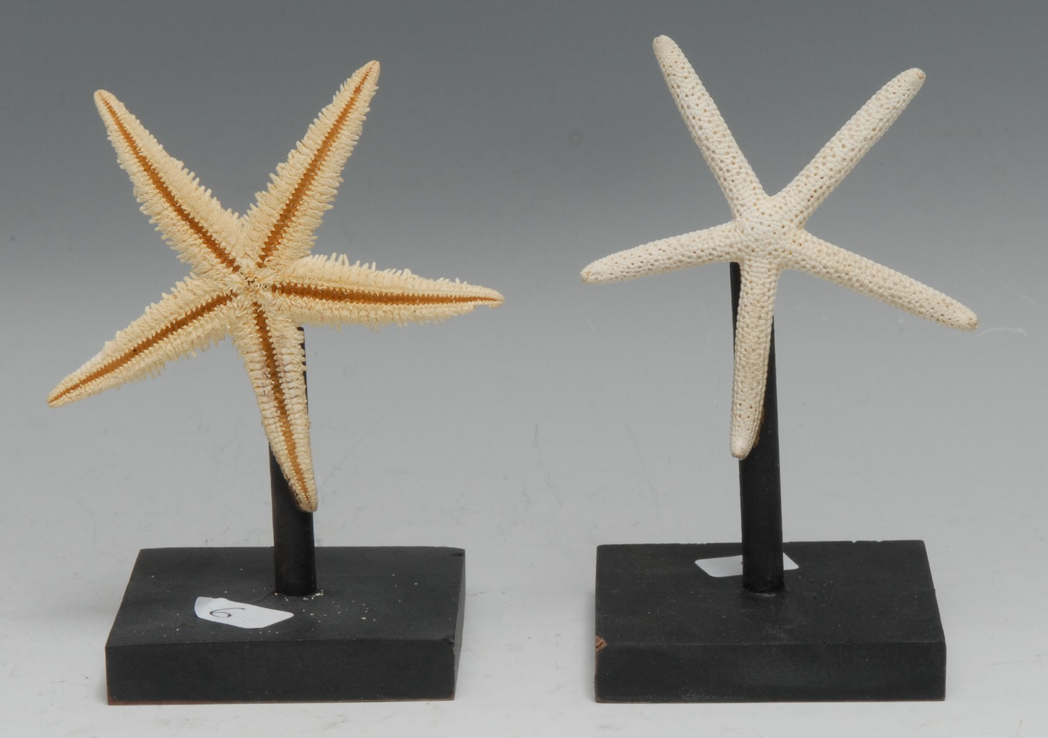 Natural History - a star fish specimen, 9cm diam, mounted for display; another (2)