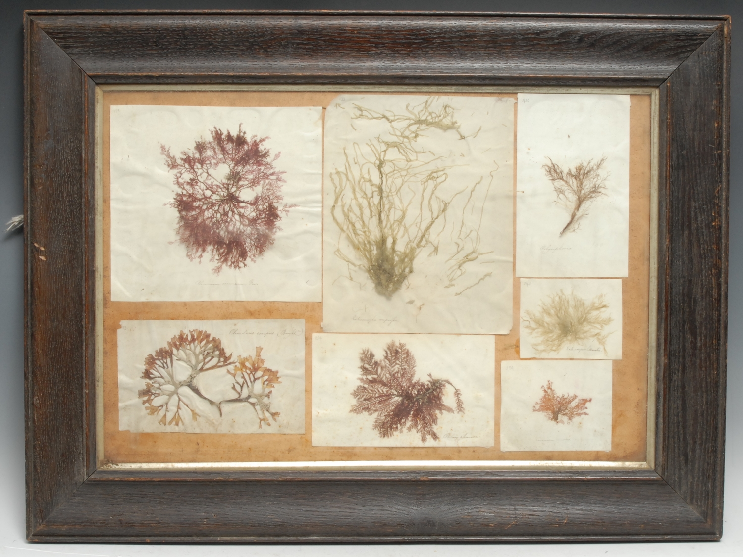 Natural History - a 'herbarium' arrangement of seaweed samples, each annotated with Linnaean