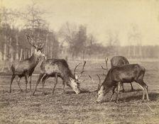 Anschütz, Ottomar: Deer and stags