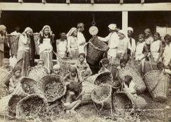British India: Tea plantations and harvest