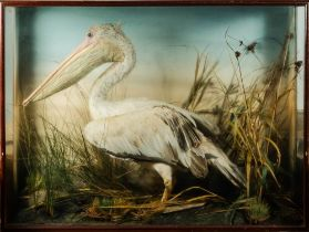 A late 19th/early 20th century cased taxidermy Pelican: naturally set with painted backboard in a
