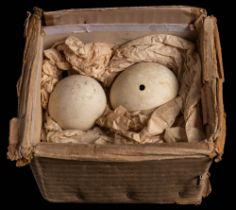 Two Penguin eggs collected as samples during the British Antarctic Expedition 1910:,