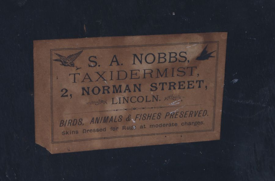 Taxidermy stoat of pale colourings, S. A. Nobbs of Lincoln stamped to the reverse of the case, - Image 2 of 4