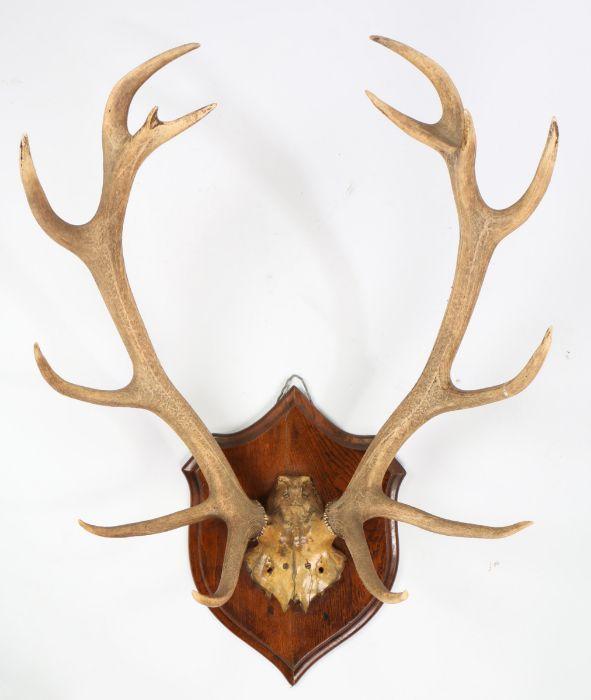 Taxidermy- pair of red deer antlers, on an oak shield backing, 70cm wide