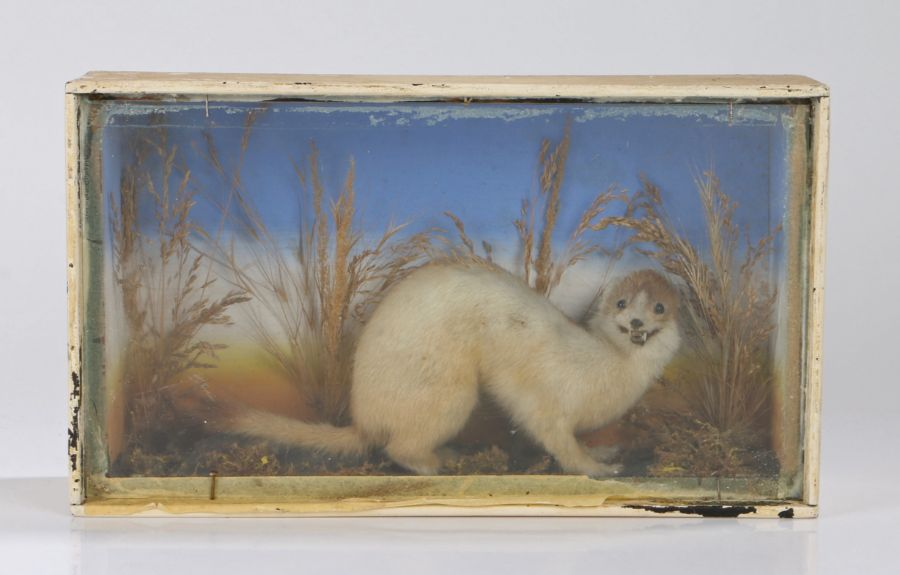 Taxidermy stoat of pale colourings, S. A. Nobbs of Lincoln stamped to the reverse of the case,