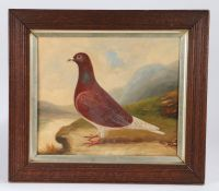 Early 20th Century School, A racing pigeon, unsigned oil on board, 36cm x 30cm