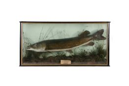 Edwardian cased Pike, circa 1905, the cased trout of large proportions above the reed bed, a pen