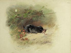 Archibald Thorburn (British, 1860-1935) Study of a mole