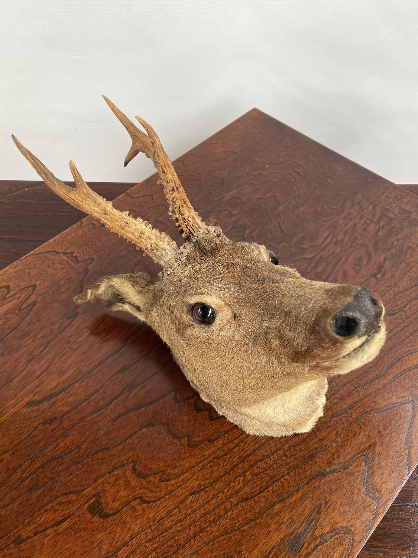 An antique taxidermy deer buck head. - Image 2 of 4