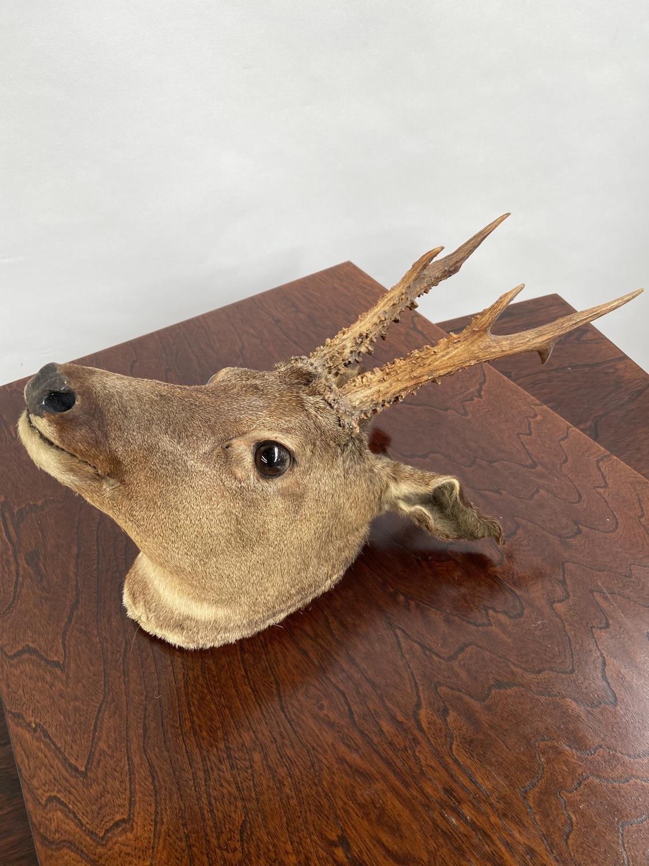 An antique taxidermy deer buck head. - Image 3 of 4