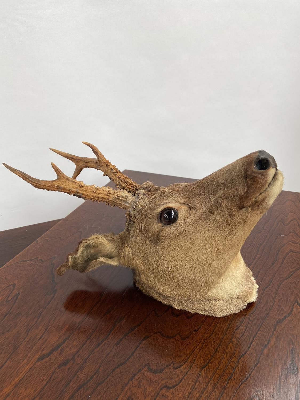 An antique taxidermy deer buck head.
