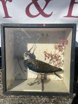 Taxidermy lapwing bird in case [38x18cm]