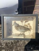 Taxidermy Snipe bird in case [23x31x13cm]