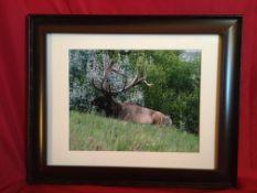 "FRAMED ELK PRINT Framed Elk Print is 21 1/4"""" Wide x 17 1/4 High. Donated by: Canada Mold & Asbestos"