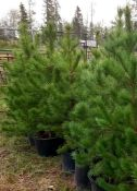 POTTED PINE TREES 4FT TO 5FT - X5 (TIMES THE MONEY)