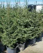 POTTED SPRUCE TREES 4FT TO 5FT - X5 (TIMES THE MONEY)