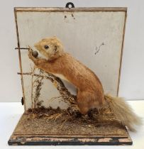 Preserved display of Red Squirrel eating on a branch. Wooden base and back. Total height 28cm. Width