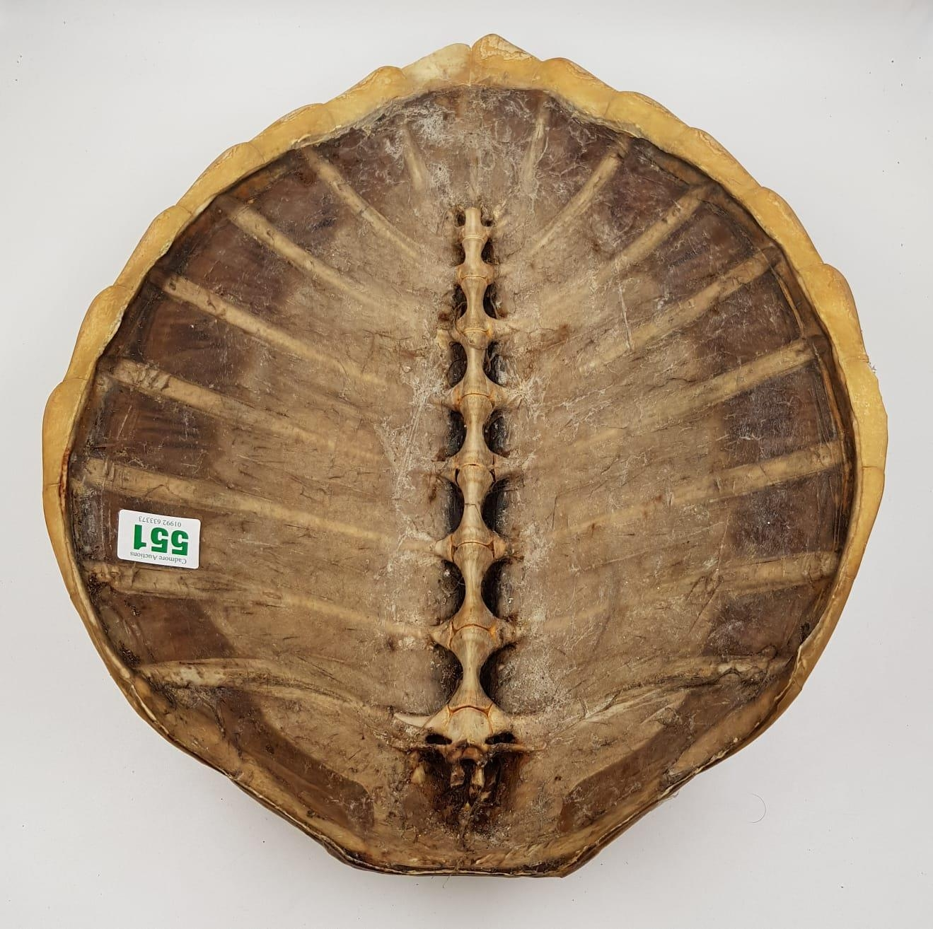 A large antique turtle shell. There is some wear and tear (age related?) marks on the shell. - Image 3 of 4