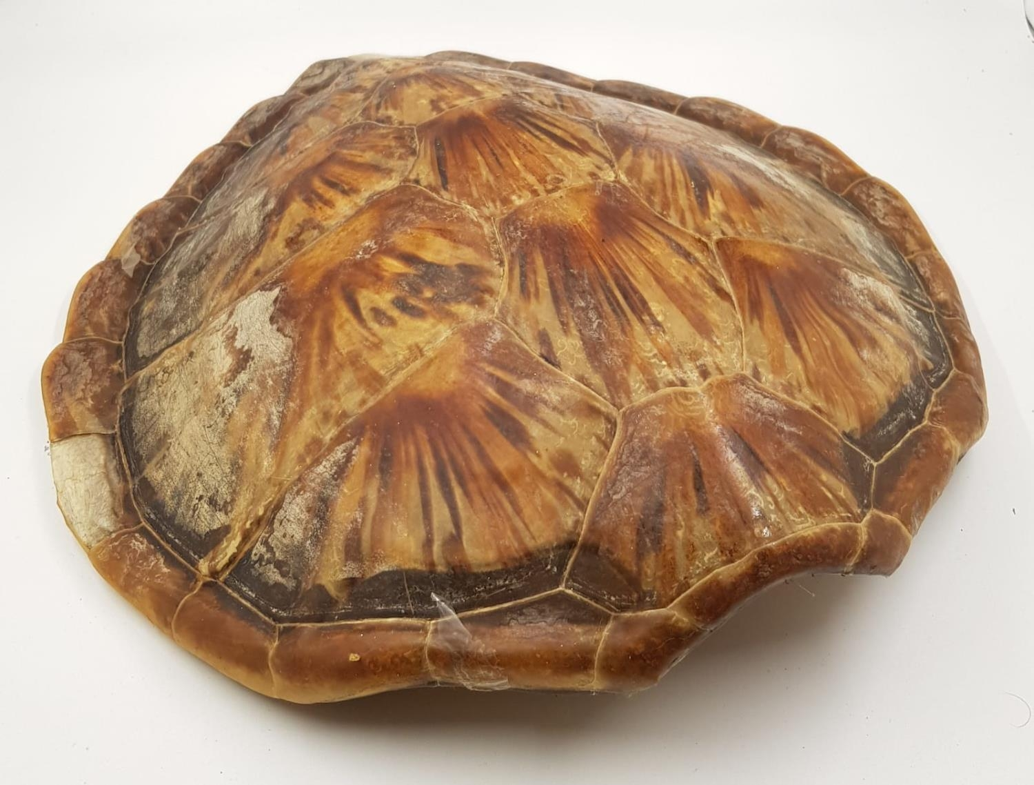 A large antique turtle shell. There is some wear and tear (age related?) marks on the shell.