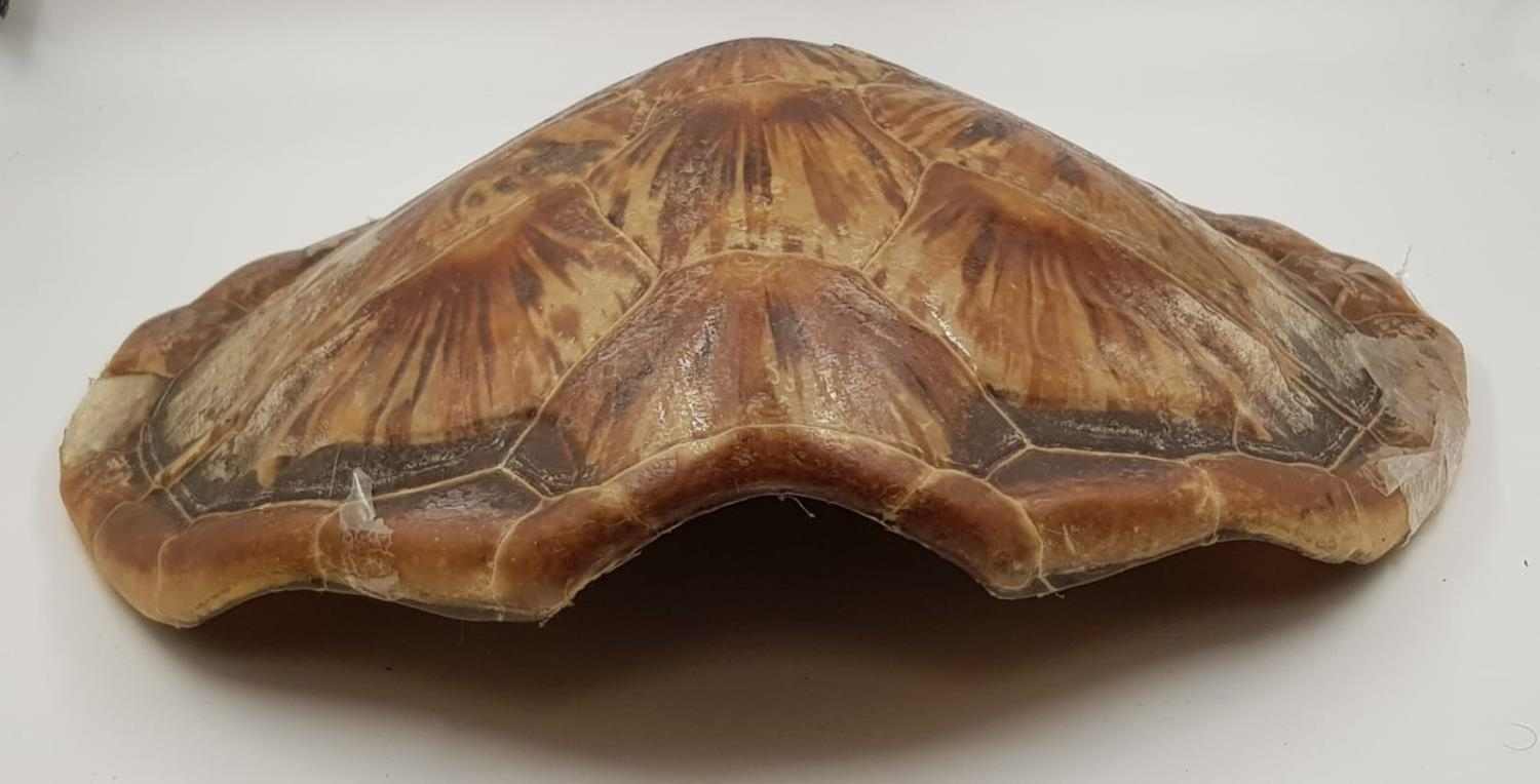 A large antique turtle shell. There is some wear and tear (age related?) marks on the shell. - Image 4 of 4