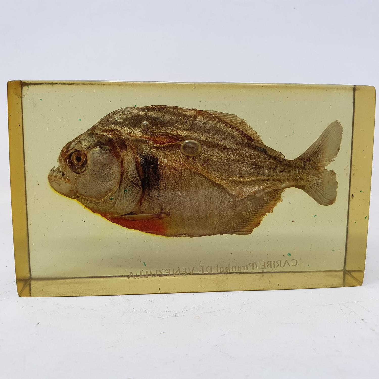 A pirannah, set in perspex box, 15 cm wide - Image 4 of 4
