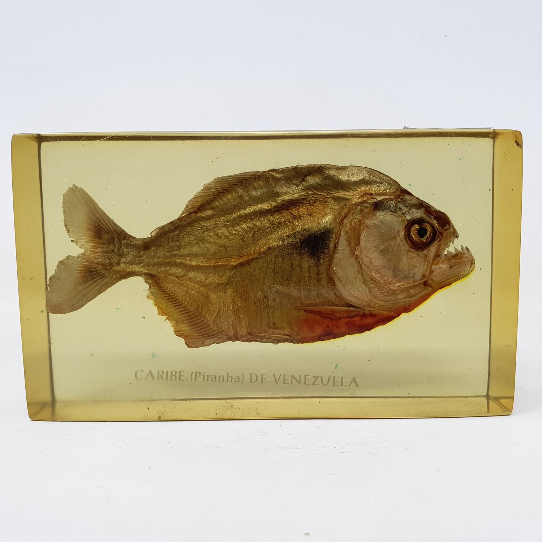 A pirannah, set in perspex box, 15 cm wide