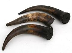 Taxidermy. Three cow horns with steel wall brackets (3).