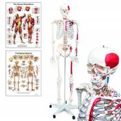 RRP £179.00 Elementary Anatomy Mike, the Budget Muscle Skeleton - a Life-Size Human Skeleton with