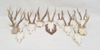 Pair of deer antlers, mounted on oak shield and twelve others,various unmounted (13)