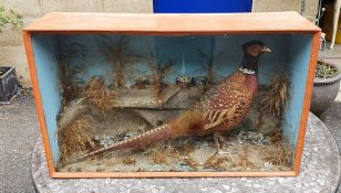 Taxidermy cock pheasant in glazed case with naturalistic setting, 47cm x 77cm