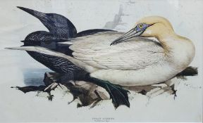 After Edward Lear Coloured print of Solan Gannet, 32 x 51cm